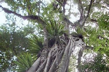 Slikovni rezultat za ružino drvo-aniba roseodora na upit